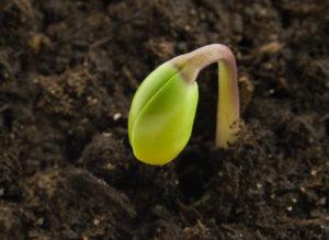 Koring plant